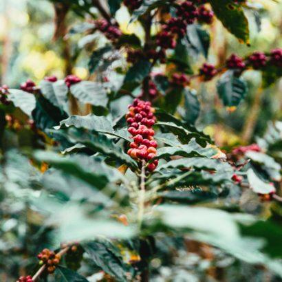 Plantation de café